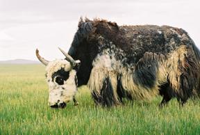 a-yak-on-grassland